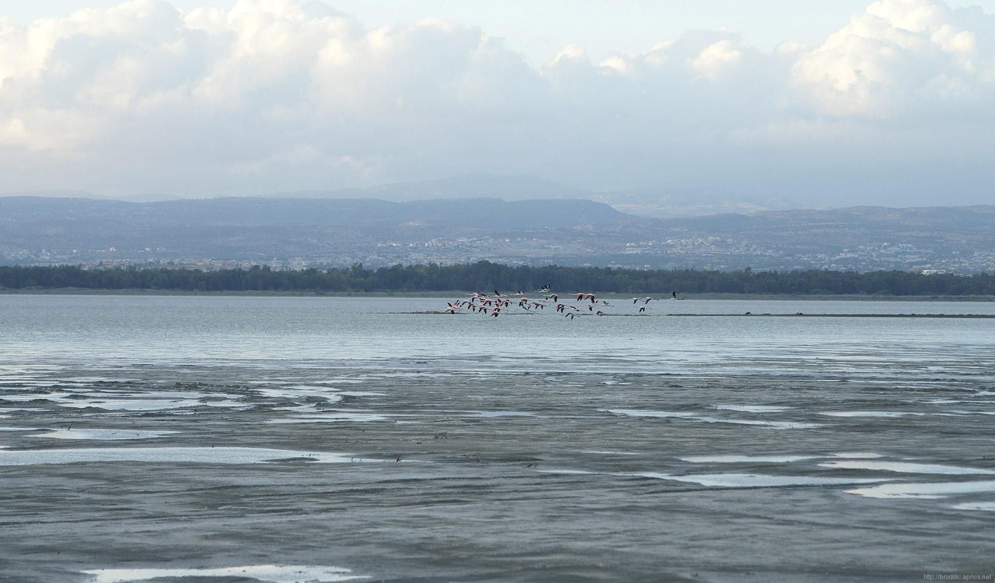 Фламинго в Лимассоле