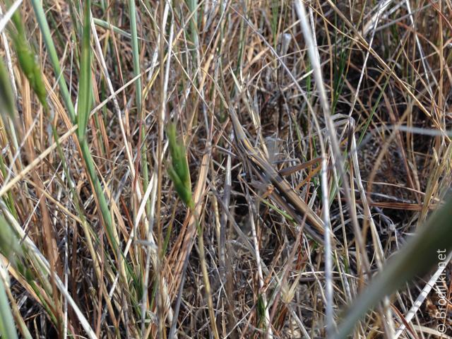 Задание: Найдите в траве кузнечика